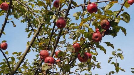 Zweige mit roten Äpfeln vor blauem Himmel