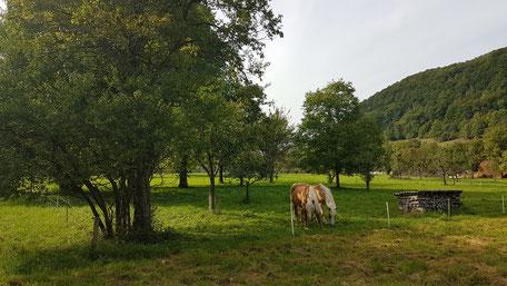 Pferde grasen zwischen Obstbäumen neben Wald und Holzstapel