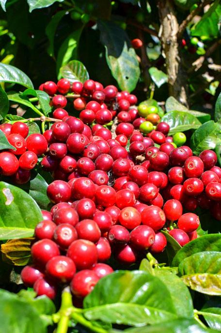 Reife Kaffeekirschen (Pache Común)