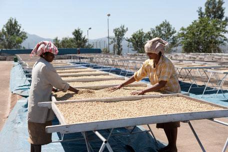 Trocknen der Kaffeesamen in Rahmen mit Böden aus Siebgeflecht