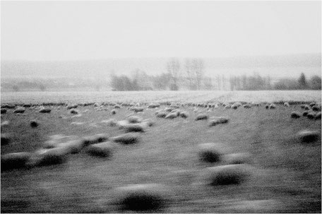 GERMANY / From the book 'Auftakt'. Sheeps, 2006