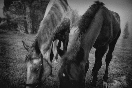 LATVIA / Kaushi / From the book 'Auftakt'. Two horses, 08.2008