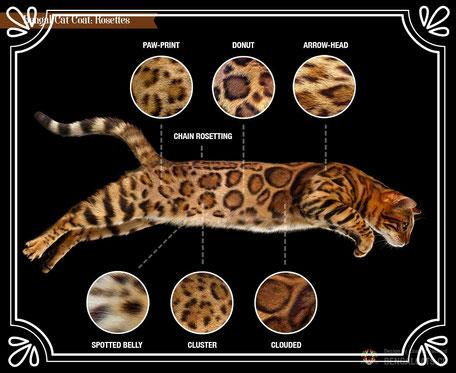 Vente de chats de race Bengal - Elevage Tribal Bengal