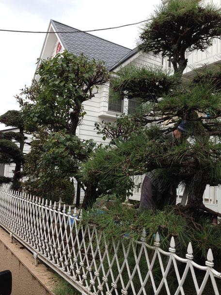 松の木がある個人邸の剪定作業