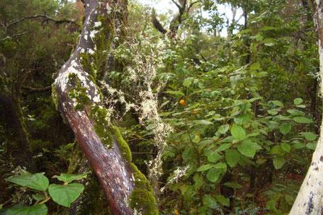 Pflanzen auf La Gomera - Der Urwald