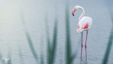 Flamant rose en Camargue - parc ornithologique du pont de gau