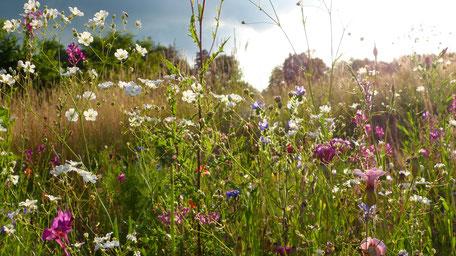 Blumenwiese; Kräuterwiese; Natur