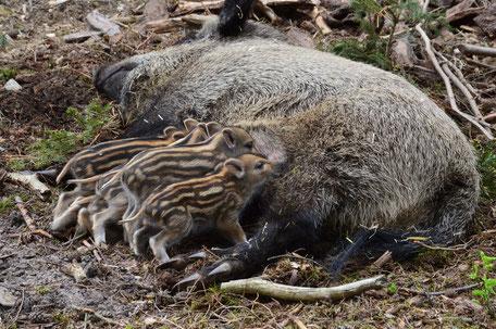 Bache mit Frischlingen; Wildschwein; Schwarzwild; Wald