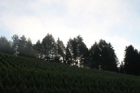 Wald und Reben umgeben unsere Ferienwohnung in Gengenbach