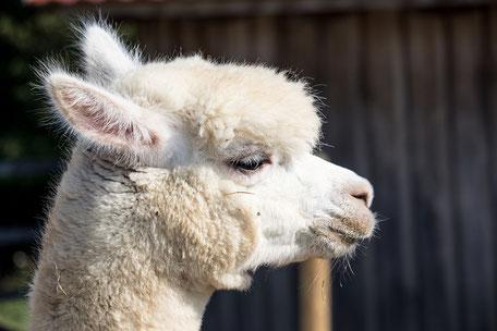 Alpaka im Profil