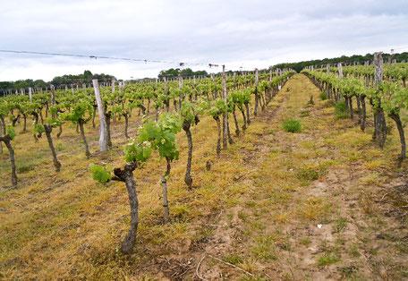 Vignes Sarl des Estuaires Meursac producteur pomme de terre tomate Charente-Maritime consommateur exploitation agricole qualité