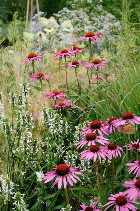dieartigeGARDEN - Echinacea + Lavendelziest + Gräser / Echinacea + lavender-leaf stachys