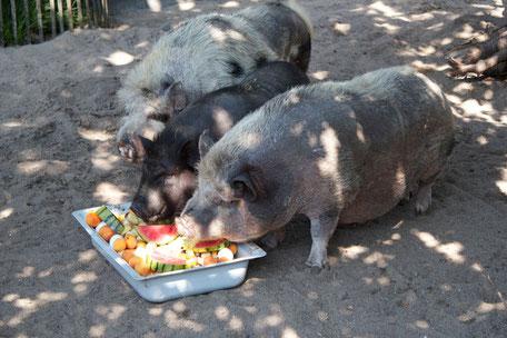 dieartigeBLOG - Hängebauchschweine bei der Fütterung
