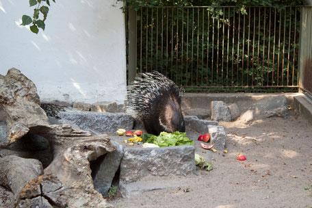 dieartigeBLOG - Stachelschwein im Tierpark