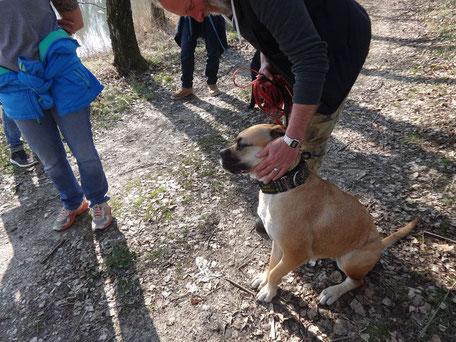 Gehorsam Boxer Hundetraining