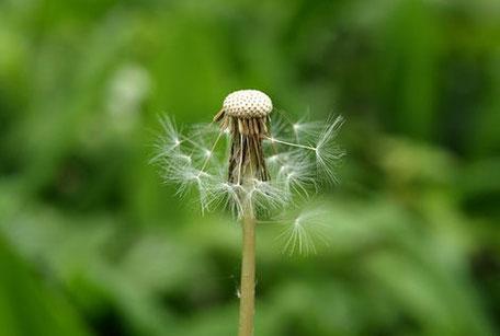 So wie aus dieser Pusteblume wieder ein kräftiger Löwenzahn werden kann, können Sie Ihre Selbstheilungskräfte beleben.