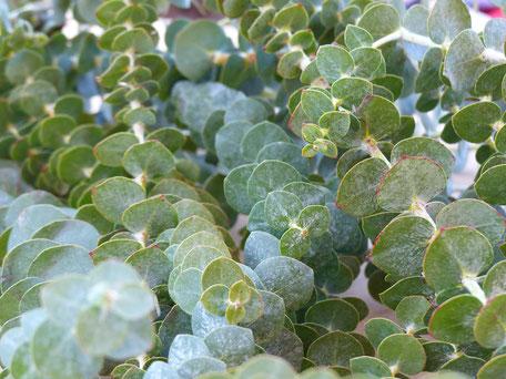 Eucalyptus babyblue aus Italien