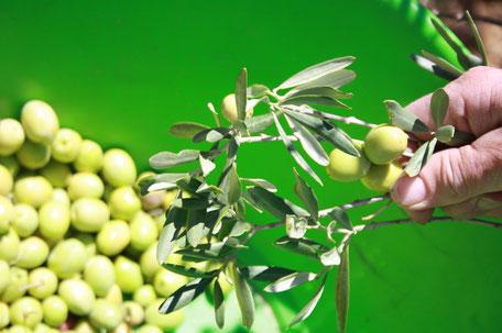 Cueillette minutieuse des olives à la main