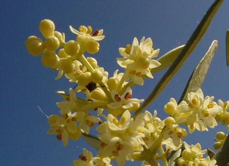 Fleurs d'oliviers