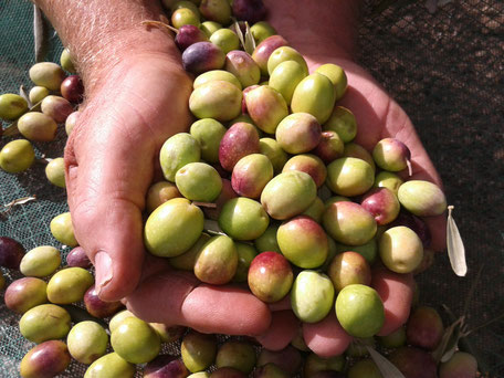 Moulin à huile dans le verger d'oliviers
