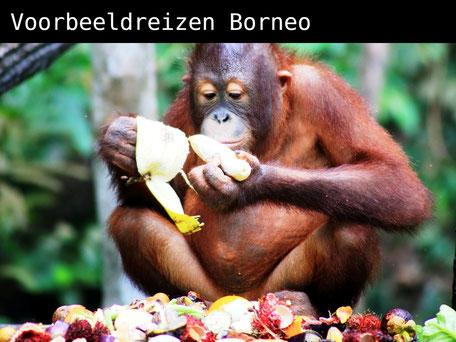 Smikkelende orang utan op Sabah op Maleisisch Borneo