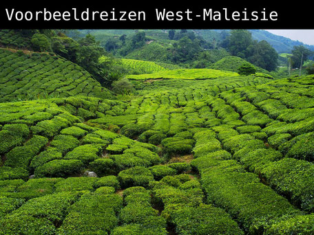 Theevelden van Cameron Highlands in West-Maleisie