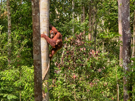 Orang-oetans in de jungle van Kalimantan