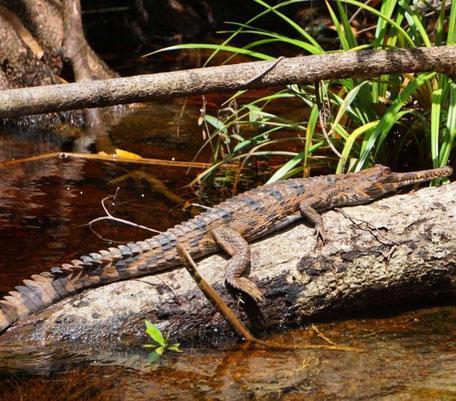 Krokodil in het regenwoud van Kalimantan