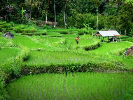 Rijstvelden op midden Bali
