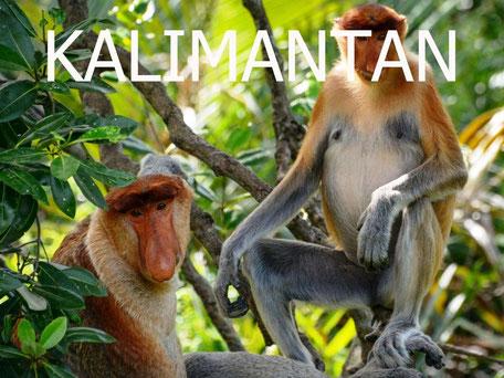 De proboscis monkey op Kalimantan