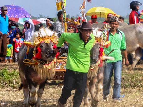 Buffelrace in Negara Jembrana Bali