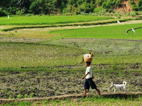 Lokale vrouw die wandelt door de rijstvelden op Sumba