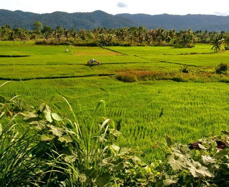 Frisgroene rijstvelden op Sumatra