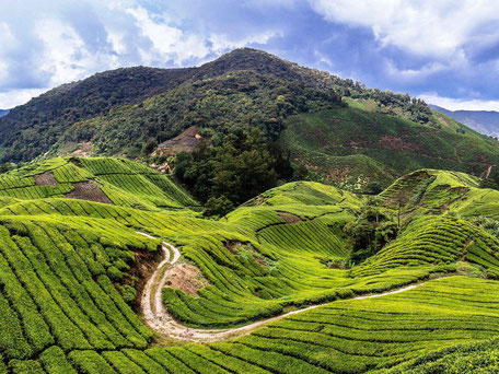 De groene Cameron Highlands in West-Maleisië