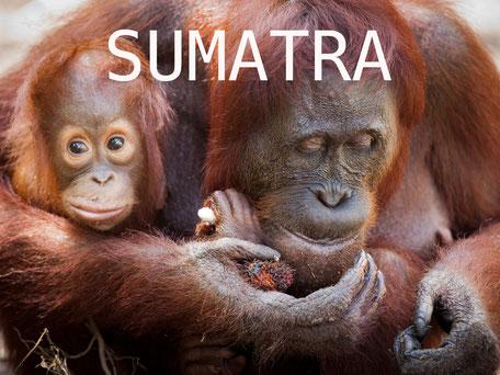 Mama orang utan met baby op Sumatra