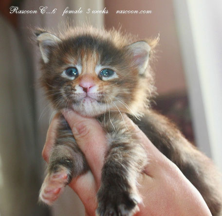 Rascoon C6 (black tortie tabby) female-3 weeks