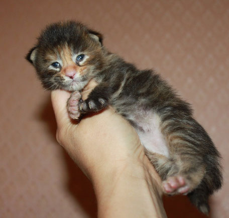 Rascoon C (black tortie tabby) female 12 days