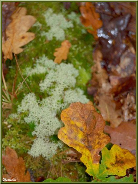 Feuilles de chêne automnales sur tapis moussu, forêt sur le Bassin d'Arcachon (33)
