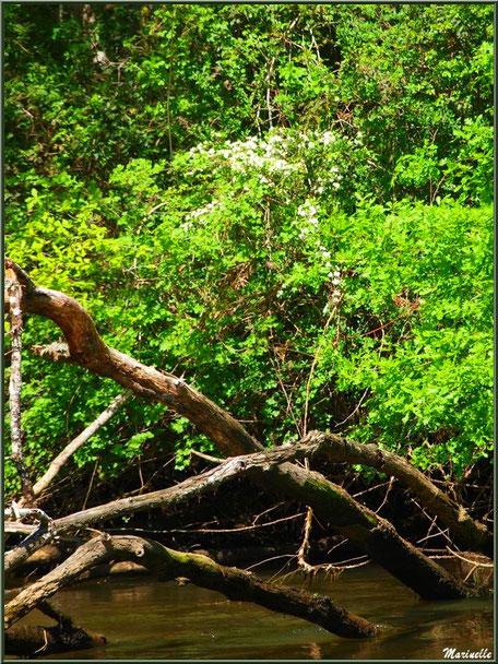 Bois, aubépines en fleurs et reflets en bordure de La Leyre, Sentier du Littoral au lieu-dit Lamothe, Le Teich, Bassin d'Arcachon (33)