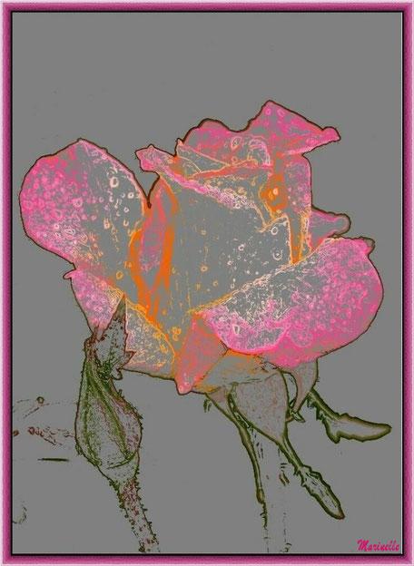 Rose en éclosion et bouton