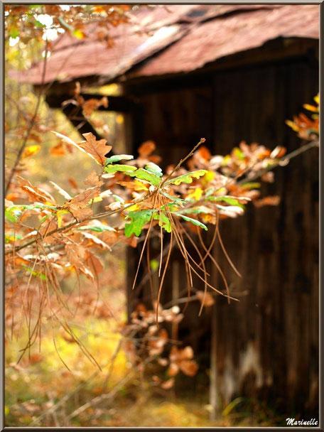 Branche avec feuilles de chêne automnal, quelques aiguilles de pin sur fon de cabane au milieu des bois, forêt sur le Bassin d'Arcachon (33)