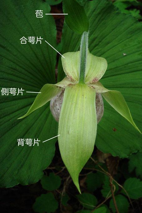 クマガイソウ(背萼片、側花弁、合萼片、苞) 2013.05.01