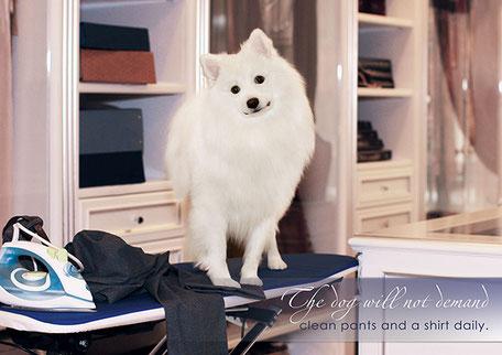 photo exhibition; white dogs models; white fluffy dog for shootings filming; Kiev Ukraine; photo foto exhibition Dogs` LA BEAUTY online 2016; model Japanese spitz SIMBA TSAR ZVEREI; Super Grand Champion of Ukraine japanese spitz SIMBA TSAR ZVEREI; graphic