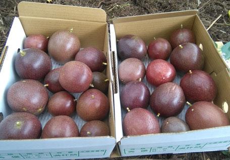 沖縄県糸満産パッションフルーツ3kg