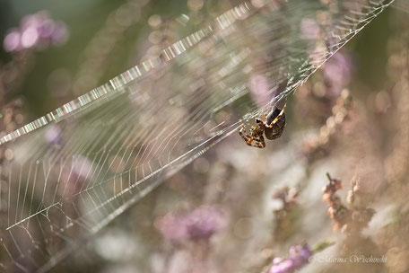Spinne inmitten von Heidekraut