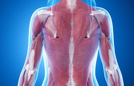 身体の内側の筋肉