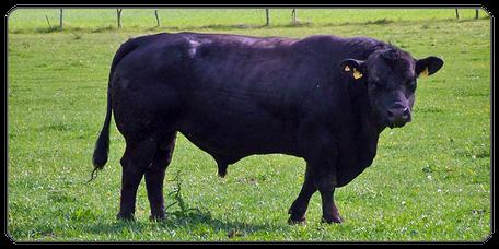 Mein BioRind | Rinderrassen Deutsch Angus