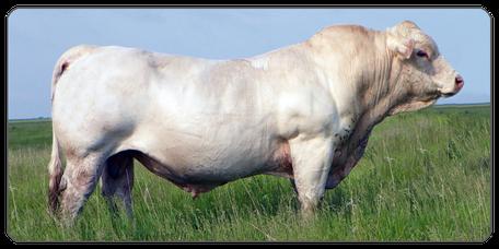 Mein BioRind | Rinderrassen Charolais