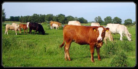 Mein BioRind | Rinderrassen Kreuzungen