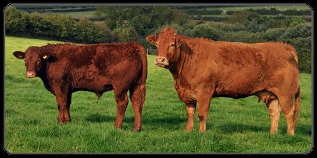Mein BioRind | Rinderrassen Limousin